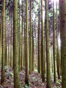 間伐された杉の森