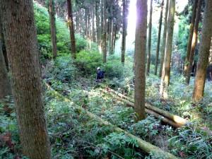 間伐された杉